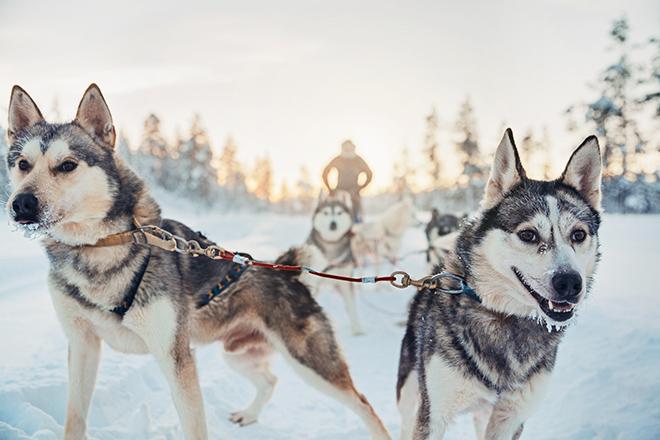 Kakslauttanen_arctic_Resort_Husky_Sledding